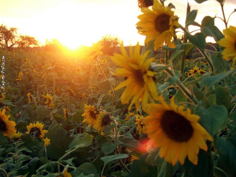 Sunflower love Twitter Backgrounds - Pimp-My-Profile.com